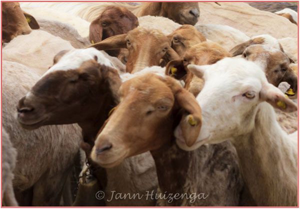 Goats in Southeast Sicily, copyright Jann Huizenga