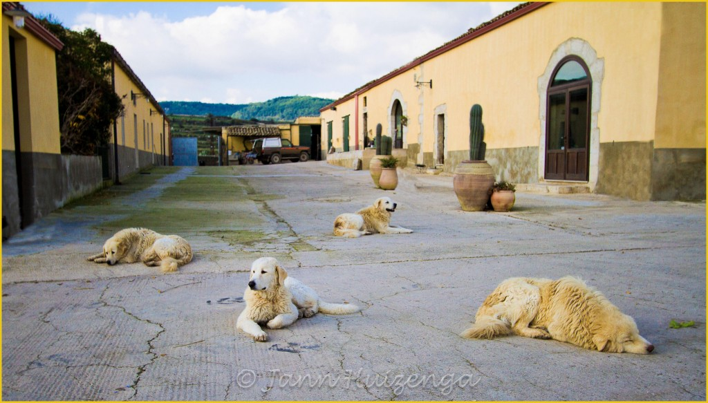 Four Dogs in Sicily, copyright Jann Huizenga