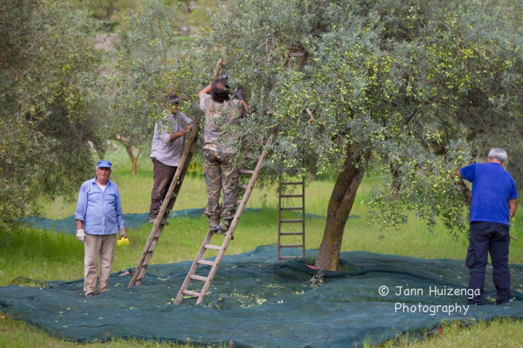 Harvesting Olives in Sicily,copyright Jann Huizenga