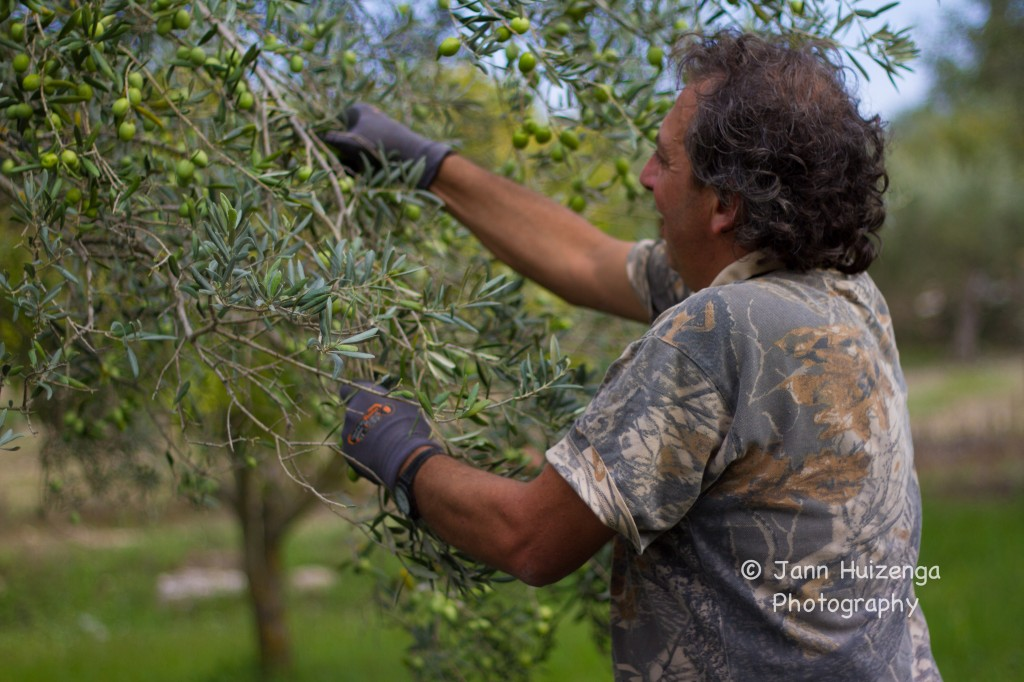 Harvesting Olives by Hand in Sicily, copyright Jann Huizenga