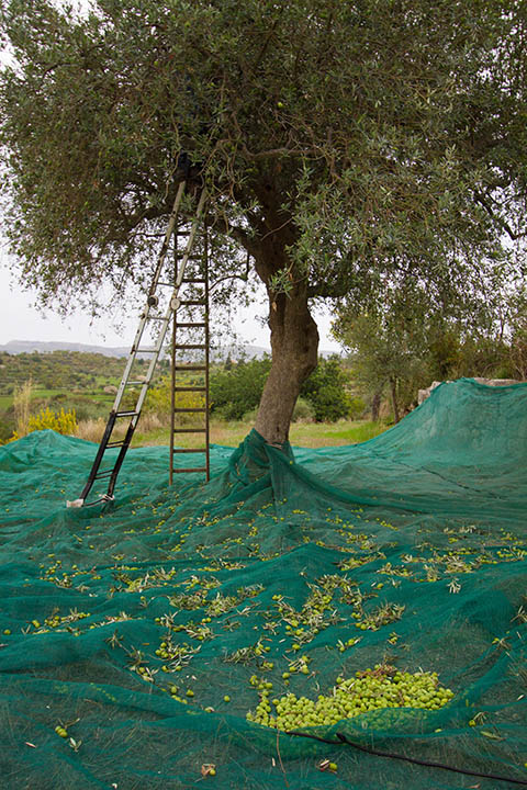 Harvesting Olives in Sicily, copyright Jann Huizenga