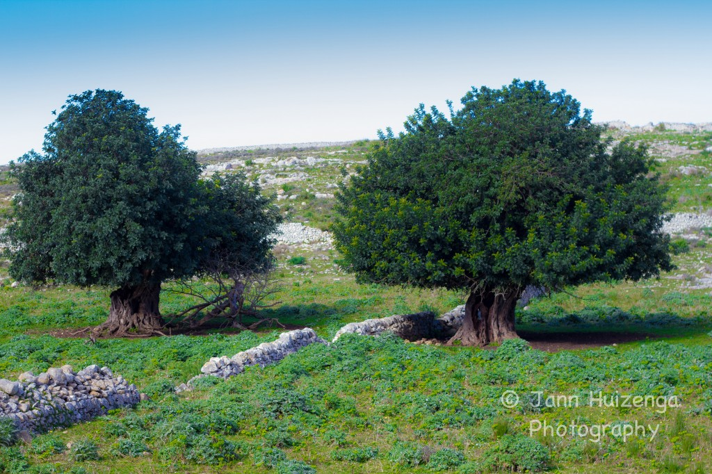 Two Carob Trees in Sicily, copyright Jann Huizenga