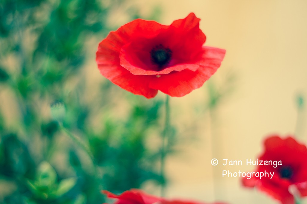 poppies, copyright Jann Huizenga